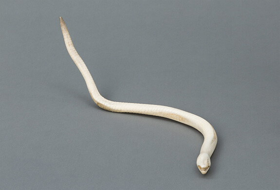 Picture of a deer antler sculpture in the round representing a snake. It was made by Thomas Siméon, a well-known craftsman from Mashteuiatsh, in Quebec.