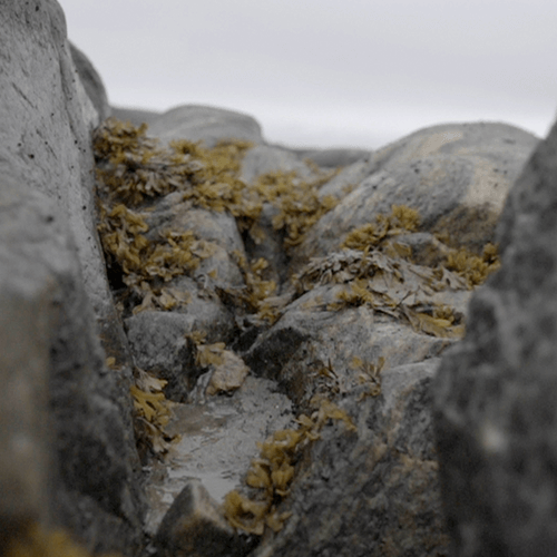 Series of pictures showing the environment of the Qajartalik site: sea, seaweed and rocks