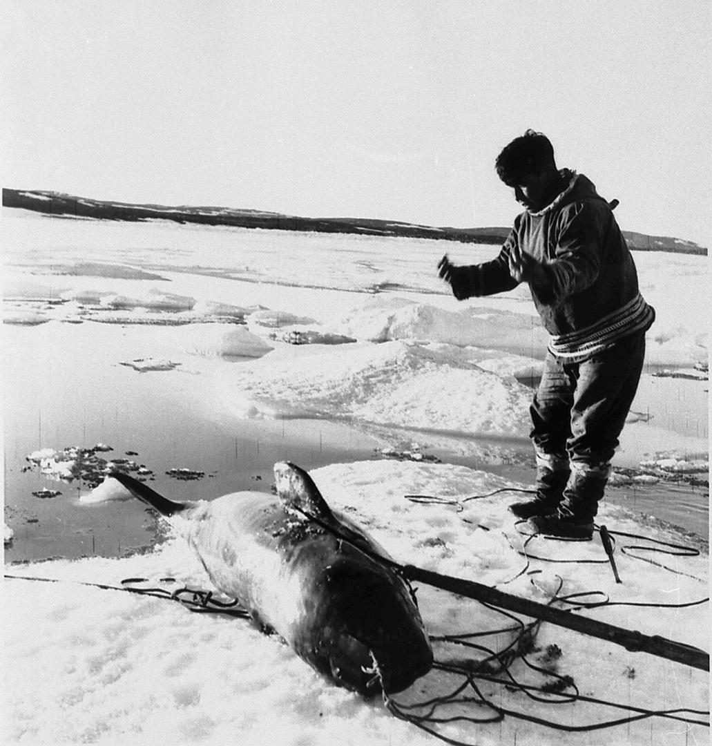 Photographie de Pinguq Alaku, chasseur de Kangiqsujuaq, venant tout juste d'harponner un petit mammifère marin
